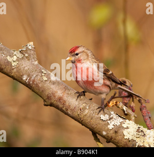 Male Redpoll - Stock Photo