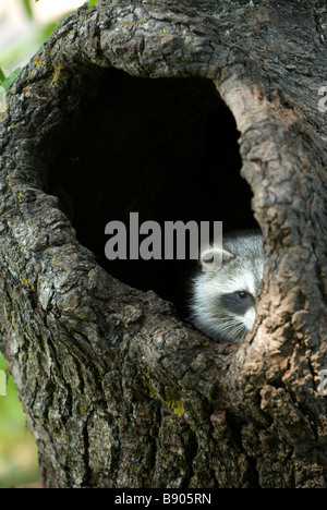 Raccoon peeking out from a hole in a tree trunk - Stock Photo