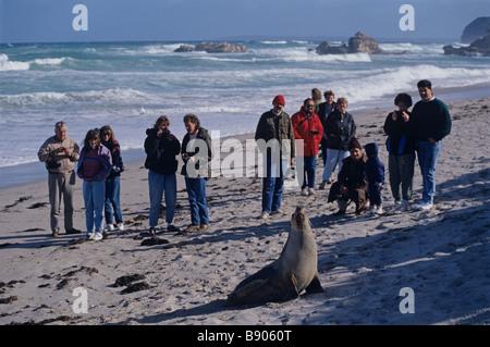 AUSTRALIAN SEA LIONS, KANGAROO IS., AUSTRALIA - Stock Photo