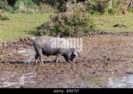 Free range grazing black pig or Pata Negra used in production of Spain s Jamon Iberica or Iberian Ham - Stock Photo