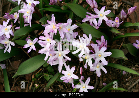 Chionodoxa forbesii Pink Giant - Stock Photo