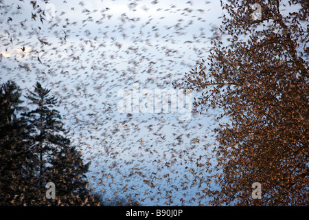 Huge flock of finches fly in to rest for the night - Stock Photo