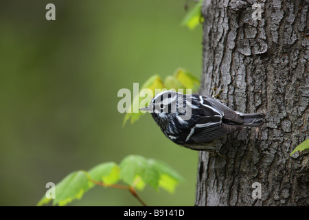 Black and white Warbler Mniotilta varia male Spring migrant on a tree trunk - Stock Photo