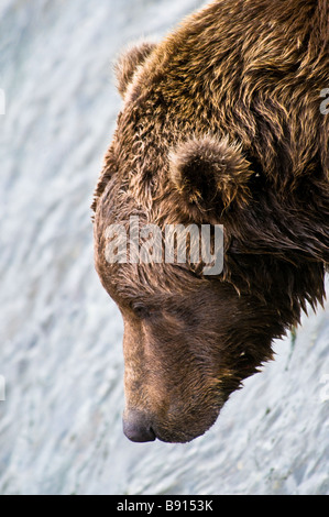 Close up profile of a wild adult male Grizzly Bear head, Ursus arctos horriblis, Katmai National Park, Alaska, USA - Stock Photo