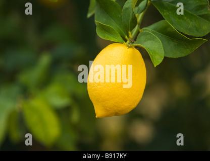 Lemon 'Lisbon'  variety hanging on branch. - Stock Photo