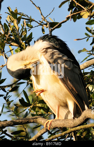 Black crowned night heron Nycticorax nycticorax preening its feathers - Stock Photo