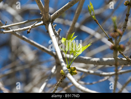 New growth on a tree in the foreground of a very blue sky. - Stock Photo