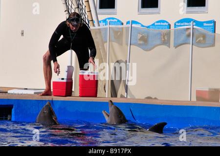 Atlantic bottlenose dolphin being fed at Marineland - Stock Photo