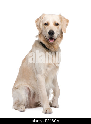 Golden Retriever 1 year in front of a white background - Stock Photo