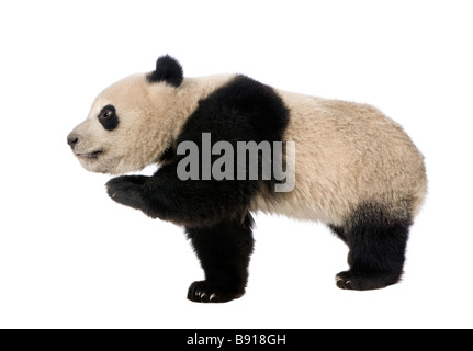 Giant Panda 18 months Ailuropoda melanoleuca in front of a white background - Stock Photo