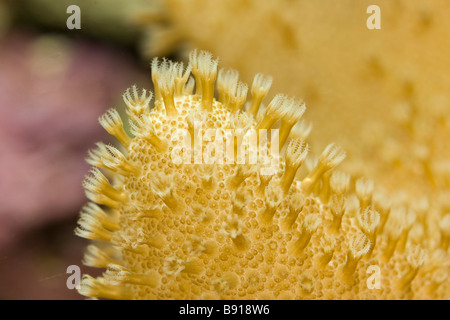 Close-up of polyps on finger leather coral sinularia - Stock Photo