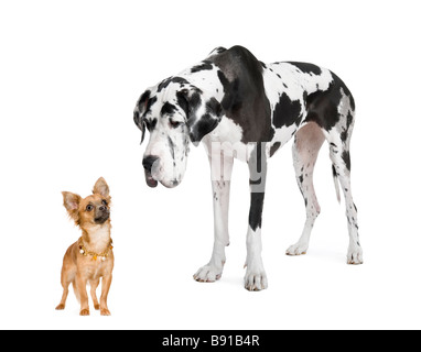 harlequin Great Dane 4 years looking down at a small chihuahua 18 months in front of a white background - Stock Photo