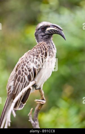 African Grey Hornbill, Tockus nasutus - Stock Photo