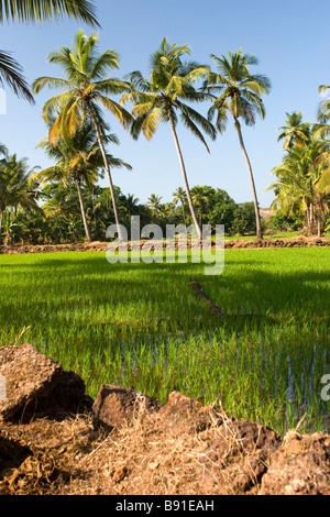 Paddy field surrounded with palms. - Stock Photo