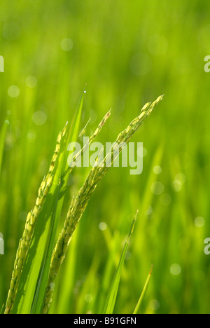 Rice crop - Stock Photo