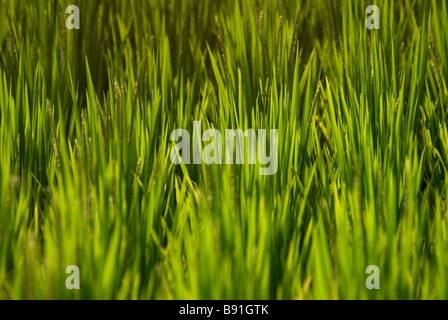Rice growing in field - Stock Photo