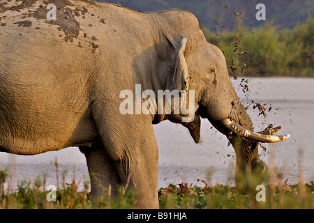 Asian or Asiatic Elephant Elephas maximus near a waterhole in the grasslands of Kaziranga national park in Assam - Stock Photo