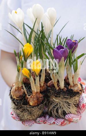Planting crocus - Stock Photo