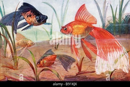 19th century variations of goldfish, Carassius auratus, illustration by Paul Flanderky (1872-1937) - Stock Photo