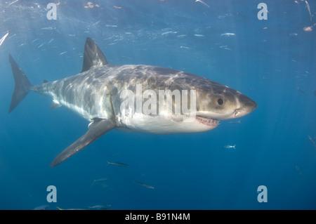 Great White Shark Carcharodon carcharias Guadalupe Island Baja California Mexico - Stock Photo