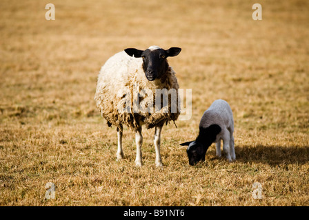 Mother sheep with baby lamb - Stock Photo