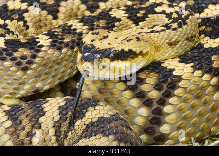 Black-tailed Rattlesnake - closeup of head showing vertical pupils and heat-sensing pit of the venomous pitvipers. - Stock Photo