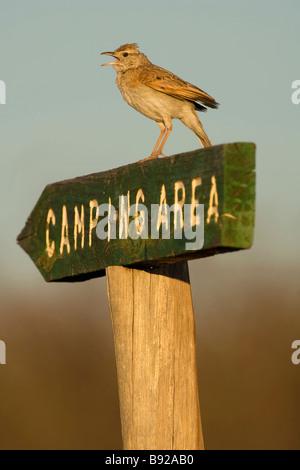 Rufous naped lark Mirafra africana sitting on camping area sign Central Kalahari Game Reserve Botswana - Stock Photo