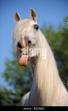 Lusitano horse. Gray adult sticking out its tongue, portrait - Stock Photo