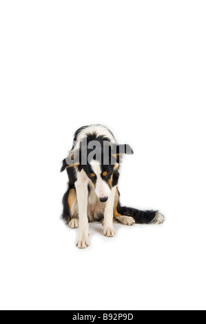 adorable shy dog in studio - Stock Photo