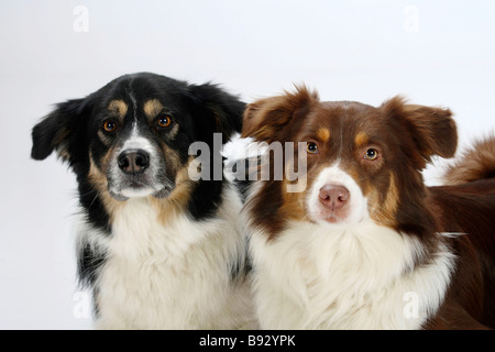 Dog Border Collie Adult Red Merle Lying In A Meadow