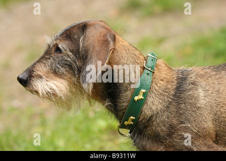 dachshund site view - Stock Photo