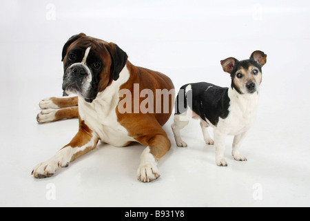 Jack Russell Terrier tricolour 13 years old blind and German Boxer - Stock Photo