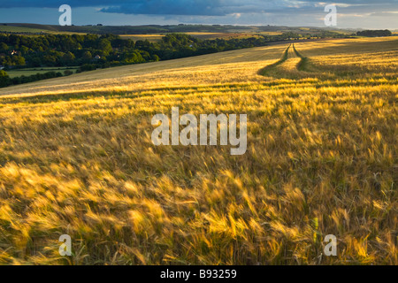 Ripe Barley blowing in the wind in evening sunlight - Stock Photo