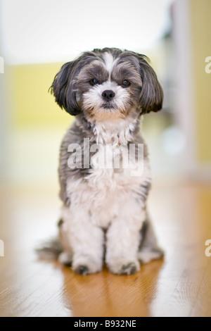 Portrait of a female Shih Tzu Maltese dog. - Stock Photo