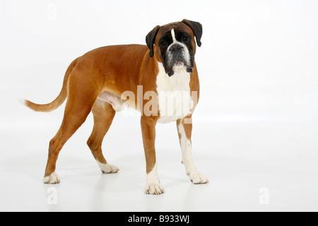 German Boxer 4 years - Stock Photo