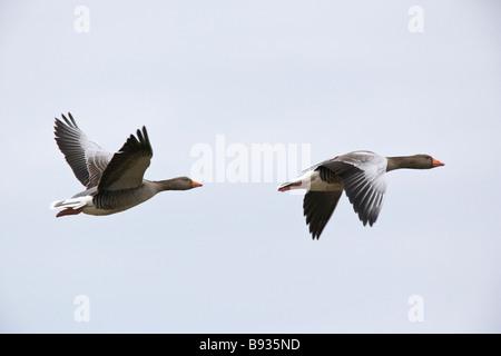 Grey Lag Goose Ariser anser Anatidae