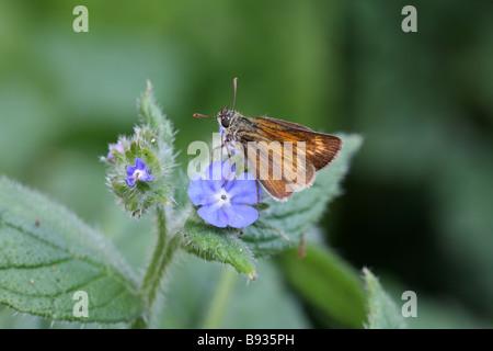 Lulworth Skipper Thymelicus acteon on blue flower - Stock Photo