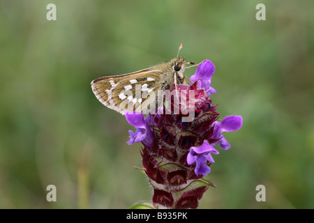 Silver-spotted Skipper Hesperia comma on Self heal South Downs in Dorset - Stock Photo
