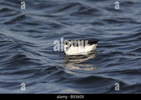 Little Auk on sea after autumn storms - Stock Photo