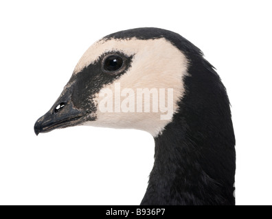 Barnacle Goose Branta leucopsis 18 mlonths in front of a white background - Stock Photo