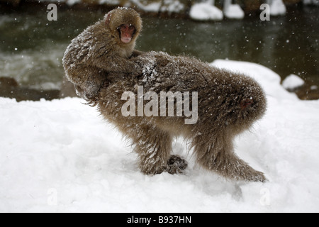 Japanese Macaque (Snow Monkey) macaca fuscata mother and baby riding on back - Stock Photo
