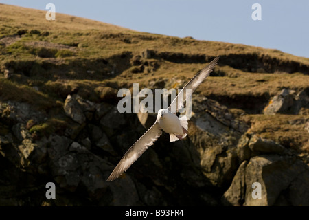 Fulmar in flight by cliff Fair Isle Shetland Stock Photo, Royalty ...