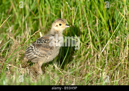 Common Pheasant chick, Phasianus colchicus, Kent, England. - Stock Photo