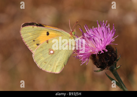 Clouded yellow butterfly Colias croceus Pieridae male on knapweed UK - Stock Photo