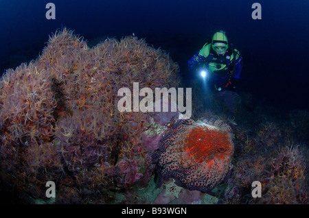 Scuba Diver over Sunflower Star and Brittle Stars Pycnopodia helianthoides Anacapa Island Channel Islands Pacific - Stock Photo