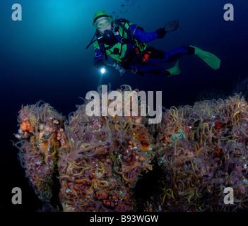 Scuba Diver over Brittle Stars Ophiothrix spiculata Anacapa Island Channel Islands Pacific California USA - Stock Photo