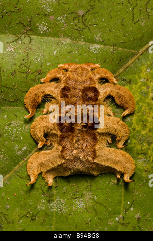 Strange Costa Rican caterpillar the Monkey slug a hag moth larva (Phobetron hipparchia) in the Osa Peninsula, Costa - Stock Photo