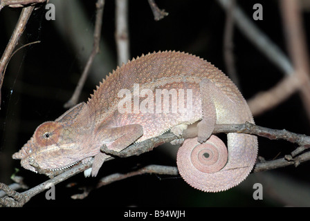 Angel's Chameleon (Furcifer angeli), a close relative of the Panther Chameleon, sleeping on a twig in Anjajavy, - Stock Photo