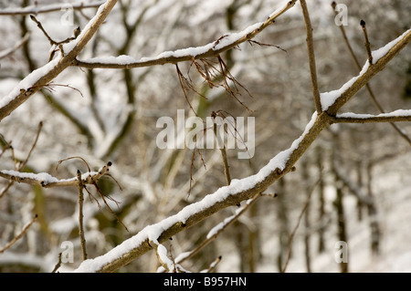 Trees covered in snow North Yorkshire England UK United Kingdom GB Great Britain - Stock Photo