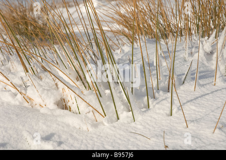 Close up of dried grasses in the snow North Yorkshire England UK United Kingdom GB Great Britain